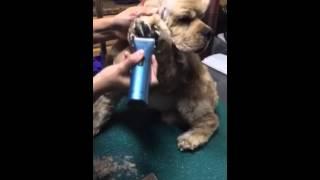 Trimming the Cocker Spaniel Pet Feet
