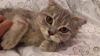 My new cat - Scottish Fold + Scottish Straight :)