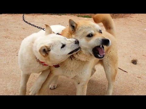 [94] 고약한 심뽀가 터지면 대책없는 청춘 진돗개 복실이와 난감한 금동이 / A puppy with a haggard personality
