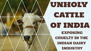 Unholy Cattle of India: Exposing Cruelty in the Indian Dairy Industry (Updated)