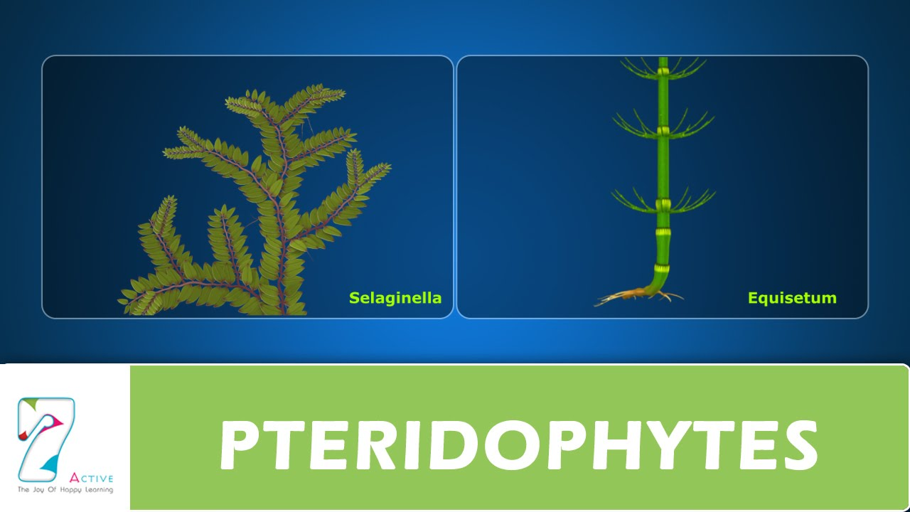difference between bryophyta and pteridophyta