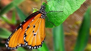 Metamorphosis of Butterflies - from egg to the butterfly