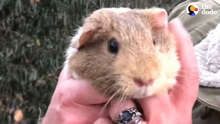 Guinea Pigs Get Rescued From Street — And There's A Surprise | The Dodo