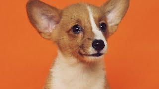 CHIWAWA (CHIHUAHUA)DOG BREED