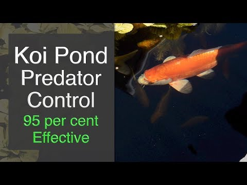 Koi Pond Predator Control - 95 Per Cent Effective