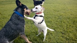 Tilly jack russell dog and a blue heeler: Forbidden Love? - Australia.