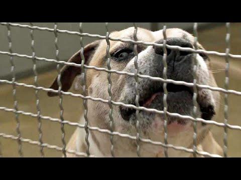 """Tödliche Kampfhund-Attacke: War """"Chico"""" eine tickende Zeitbombe?"""