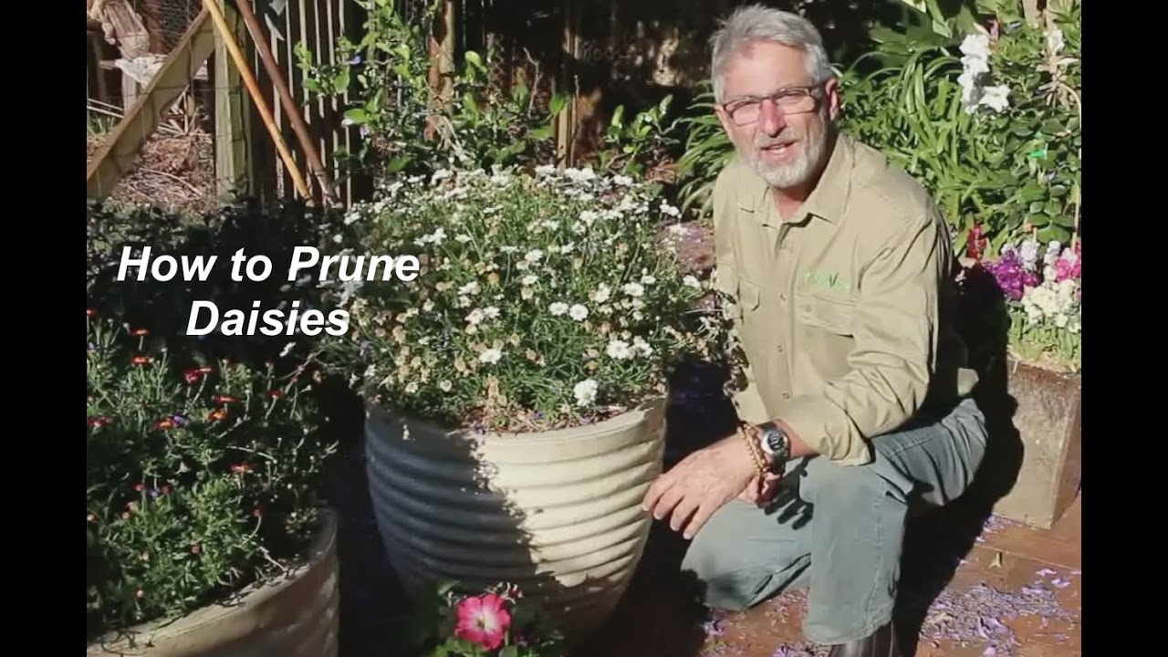 How To Prune Daisies Youtube