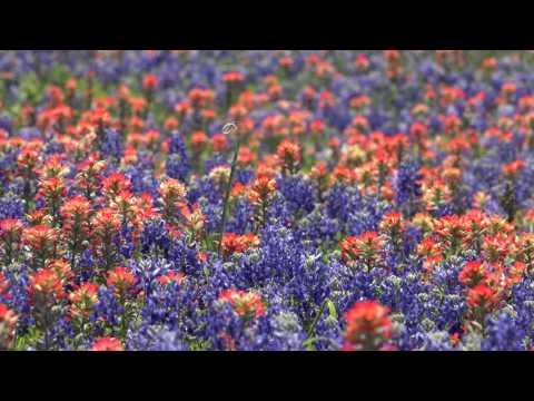 Bluebonnets in Navasota, Texas