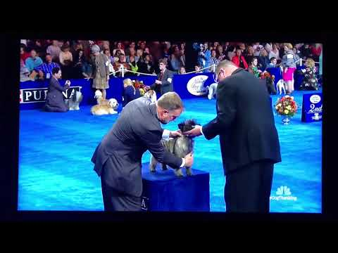 2017 National Dog Show - Terrier Group Competition