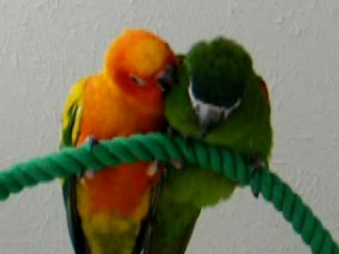 Sun Conure Amp Hahn S Macaw Bff S Youtube