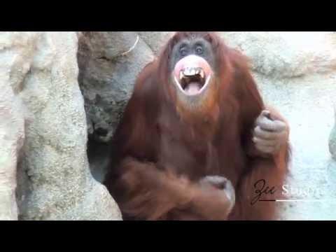 Smart Orangutan at Monkey Jungle