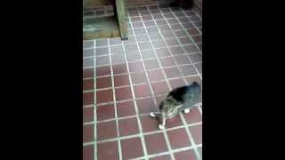 Cat chases mailman