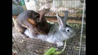 how to breed your rabbit doe sometimes its easy sometimes not