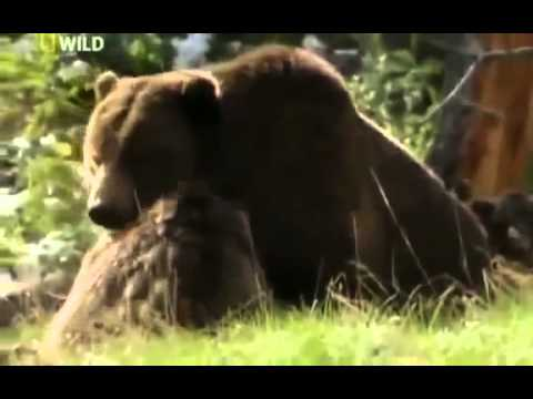Grizzly Cauldron The Giant Bears of Yellowstone - FULL DOCUMENTARY