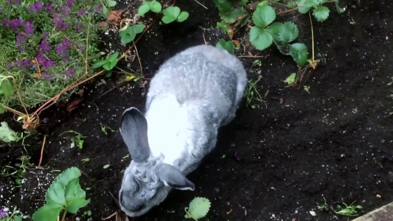 Flemish Giant Rabbit Gardening Outside