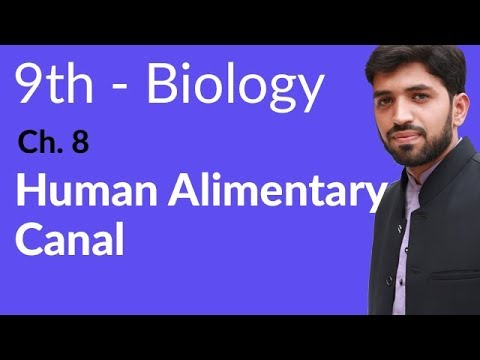 Human Alimentary Canal Biology - Biology Chapter 8 Nutrition biology - 9th Class