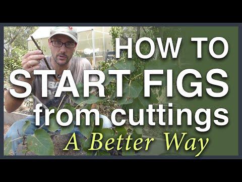 Propagate Figs From Cuttings: A Better Way