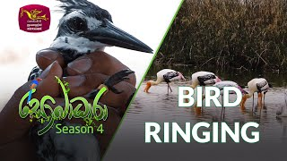 Sobadhara - Sri Lanka Wildlife Documentary | 2020-07-31 | Bird Ringing Thumbnail