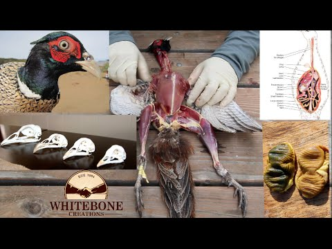 "HOW TO CLEAN GAME BIRDS AND SKULLS DIY ( PHEASANT 101 ) ""GRAPHIC"""