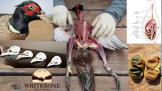 "HOW TO CLEAN GAME BIRDS AND SKULLS DIY ( PHEASANT 101 ) ""GRAPHIC"