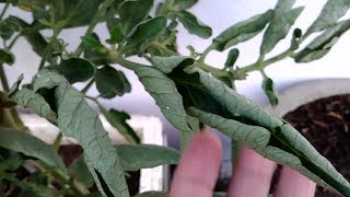 Leaf Curl Virus Disease In Tomato & Chilli | Tomato Disease | Chilli Disease | पर्ण संकुचन