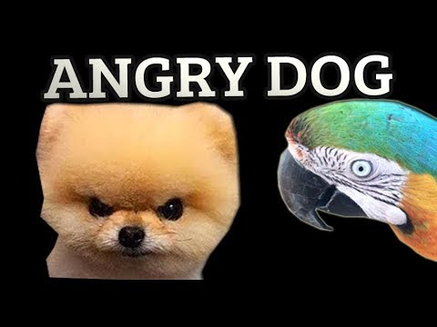 THIS CUTE LITTLE DOG IS ANGRY!