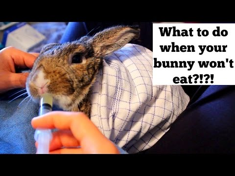 What To Do When Your Bunny Won't Eat