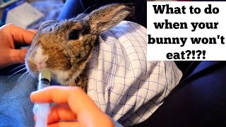 what to do when your bunny won t eat