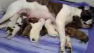 American Bulldog X Boxer Pups Feeding