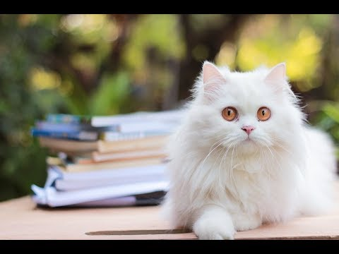 Persian Cat Breed Information, Pictures, Appearance & Facts