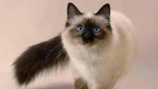 почему кошки отзываются на КИС КИС.