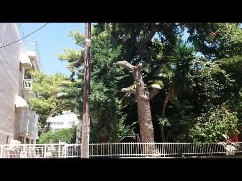 Араукария, сосна,юкка и др.Красивые деревья.