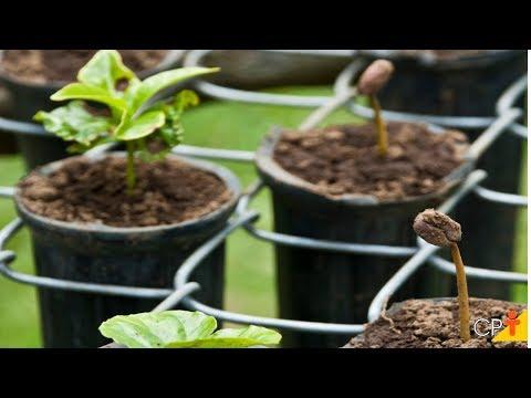 Curso Produção de Mudas de Café em Saquinhos e Tubetes - Mudas em Tubetes - Cursos CPT