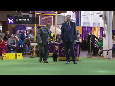 Schipperkes | Breed Judging 2019