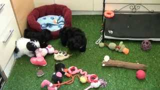 Little Rascals Uk Breeders New Litter Of Shih Tzu Pups - Puppies For Sale 2015