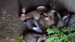 Кормление кролей,как кролики едят ветки деревьев.