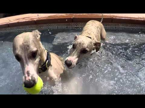 My Swimming Whippets, Neiman and Marcus