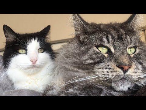 LYNX, LION CAT →  BIG MAINE COON CAT BLACK SILVER vs NORMAL CAT