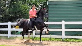 American Saddlebred, Uh Oh Lilly, Five-Gaited mare