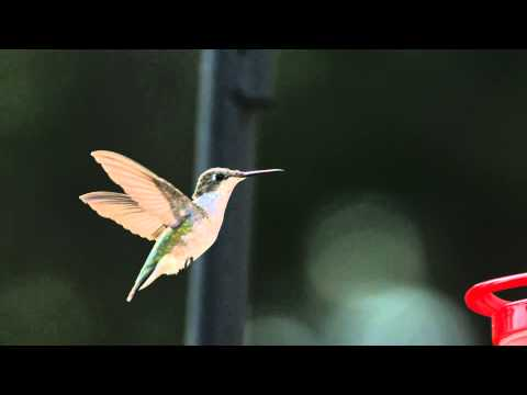 Super Slow Motion Hummingbird HD Flight Video Hovering at Bird Feeder Slow Mo Wing Speed Video View