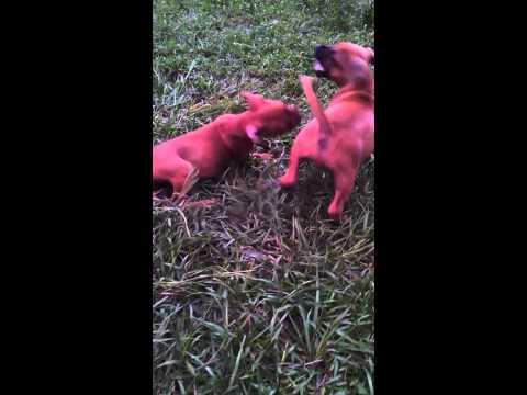 Crazy eli pitbull pups