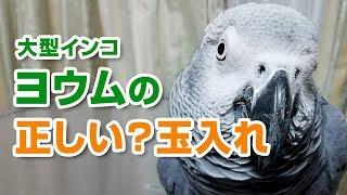 大型インコ ヨウムは賢い「正しい玉入れ」 thumbnail