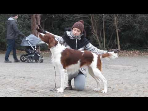 handling with Irish Red&White setter)