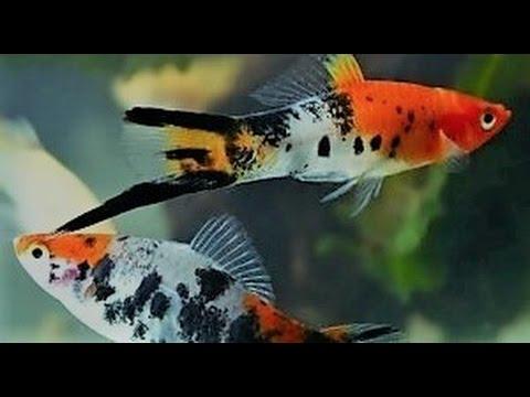 Аквариумная рыбка меченосец, меченосцы, размножение, содержание, выращивание мальков.
