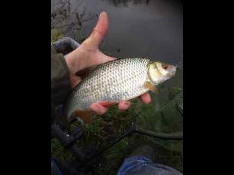 Epic Action!  Bread Punch Roach fishing on the Grand Union Canal.