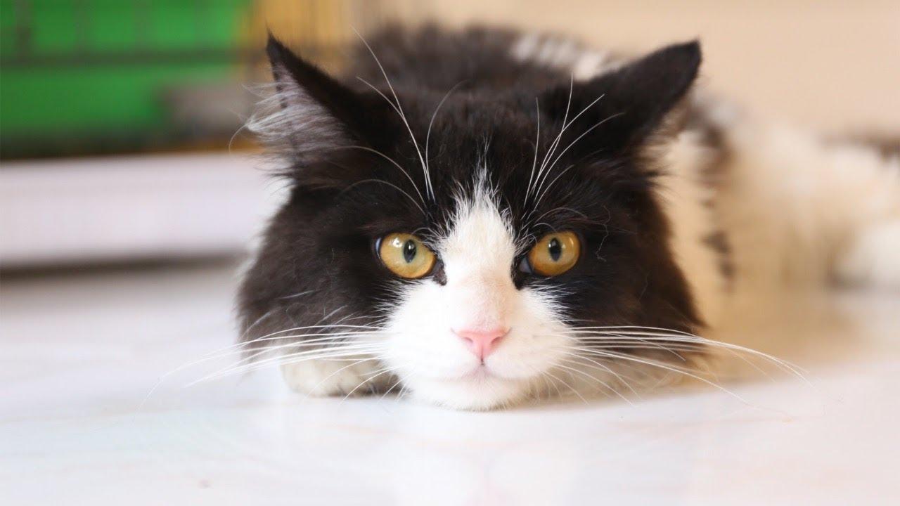 Mengobati Kucing Sariawan Cara Mengobati Kucing Sariawan