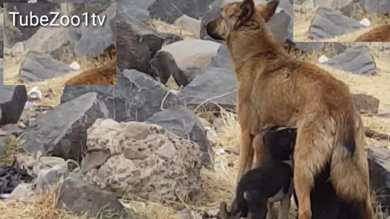 See the mercy of the animal his dog feeds four of her young and two others have lost their mother