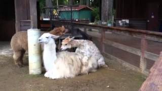 Mating Llamas at Sequoia Park Zoo in Eureka, California