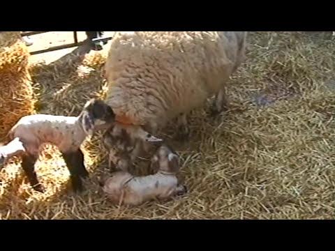 Baby sheep (lamb) being born